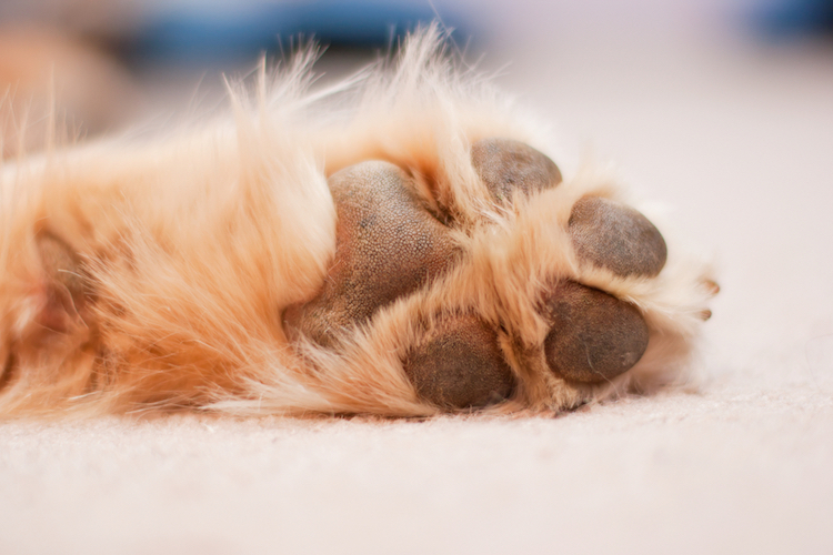 Dogs have sweat glands in their paws