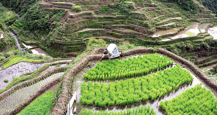 Plant rice at the Banaue Rice Terraces in Ifugao