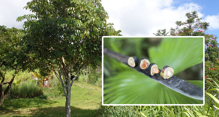 What is a Pili tree