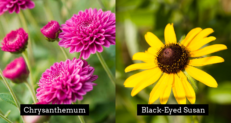 Chrysanthemum and Black-Eyed Susan meaning