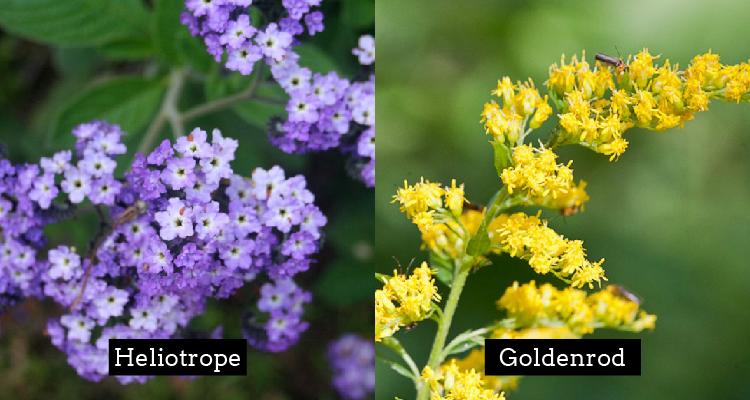 Heliotrope and Goldenrod meaning