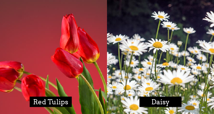 Red Tulips and Daisy